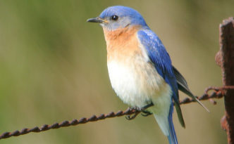 a watchful bluebird, perched on a wire fence